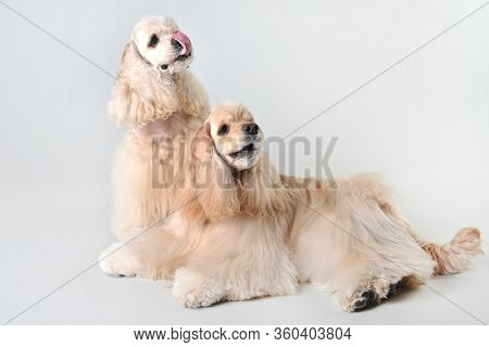 Two Fawn Cocker Spaniels In A Studio On A White Background, Blonde Haired Cocker Spaniels In Studio
