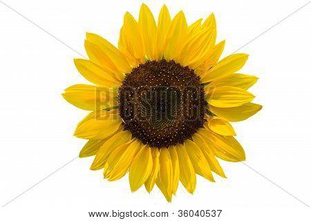 Summer Decorative Sunflowers