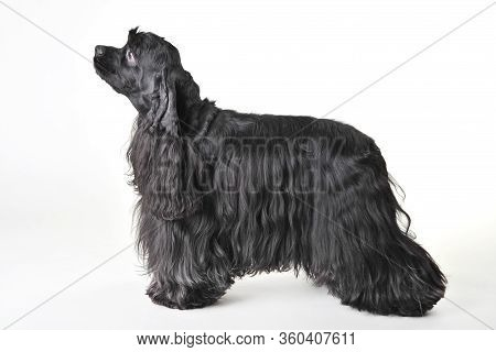 A Black Haired Cocker Spaniel Stands On A White Background, Cocker Spaniel In Studio