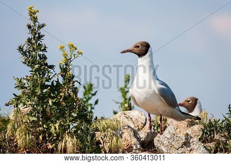 Interested Black-headed Gull Sitting On A Rock In Breeding Colony