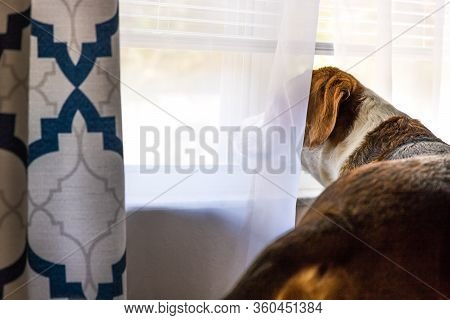 A Beagle Mix Hound Dog Is Standing Indoors By A Big Window With The Curtaain And Shutters Open. The