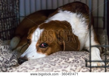 A Beagle Mix Hound Dog Is Standing Indoors By A Big Window With The Curtain And Shutters Open. The D