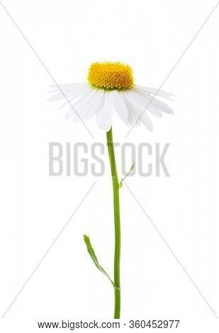 Flower of Chamomile (Ox-Eye Daisy ) isolated on white background.