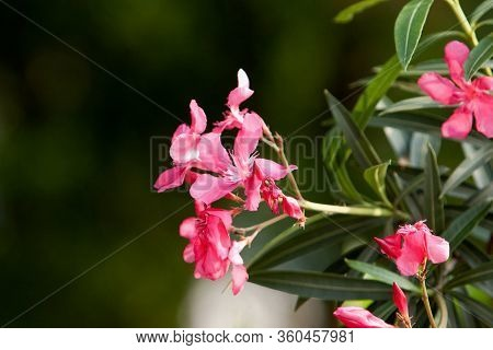 12 May 2008  The Flower Of Pink Nerium Oleander At The Nature Background