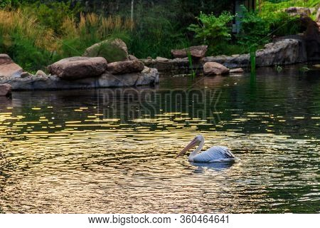 Great White Pelicans (pelecanus Onocrotalus) Also Known As The Eastern White Pelican, Rosy Pelican O