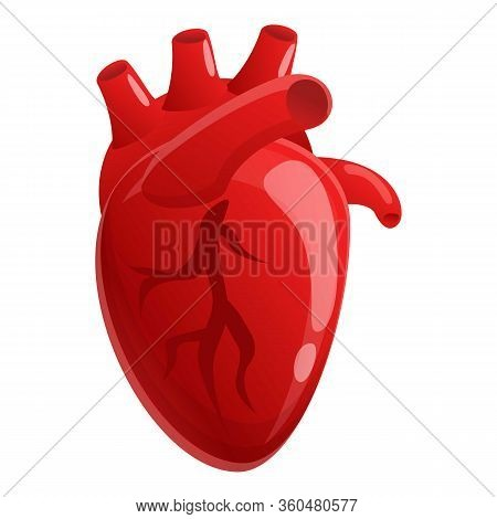 Muscle Human Heart Icon. Cartoon Of Muscle Human Heart Vector Icon For Web Design Isolated On White