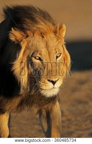 Portrait of a big male African lion (Panthera leo) in late afternoon light, Kalahari desert, South Africa
