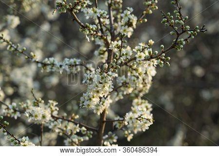 Flowering Blackthorn (prunus Spinosa) In Early Spring.