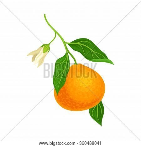 Unpeeled Mandarin Or Tangerine Fruit With Green Leaves Hanging On Tree Branch Isolated On White Back