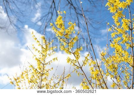 Spring Floral Broom Cytisus \'luna\' Plant, Beautiful Fresh Yellow Flowers, Isolated On Blue Sky Bac