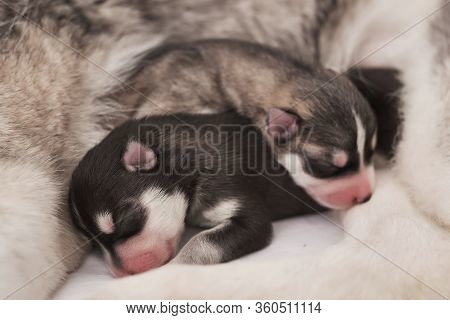 Newborn Siberian Husky Puppy Age Of 1 Days. Husky Dog Breeding. Concept Of Veterinary Medicine, Zoo