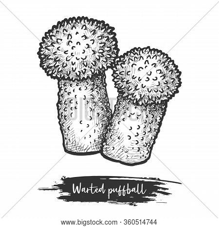 Common Or Warted Puffball Sketch. Mushroom Vector