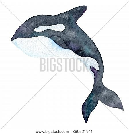 Watercolor Illustration Of A Killer Whale Drawn By Hand On Paper. Black And White Animal.marine Anim