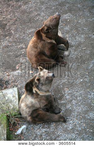 Brown Bears Of Bern