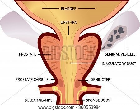 Prostate, An Exocrine Gland Of The Male Reproductive System. Within It Sits The Urethra Coming From