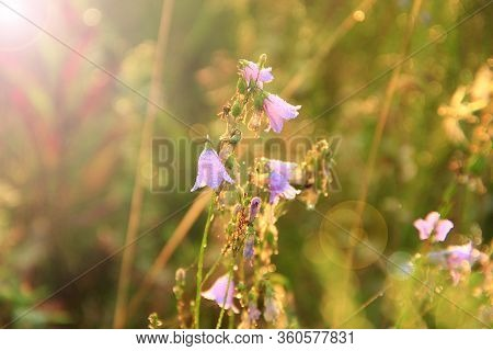 Bluebells At Dawn In Rays Of Rising Sun. Beautiful Purple Flowers Of Bluebells In Sunlights. Morning