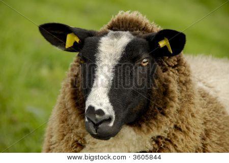 Sheep With Yellow Earrings