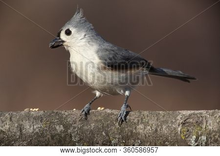 Tufted Titmouse Posing On A Natural Wood Perch