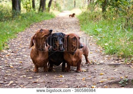 Three Dachshund Dogs In A Row, Red And Black, Obediently Stand In The Summer On The Track, Outdoors,