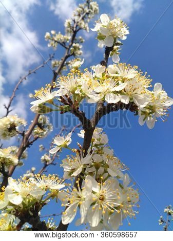 blooming spring fruit trees on blue sky