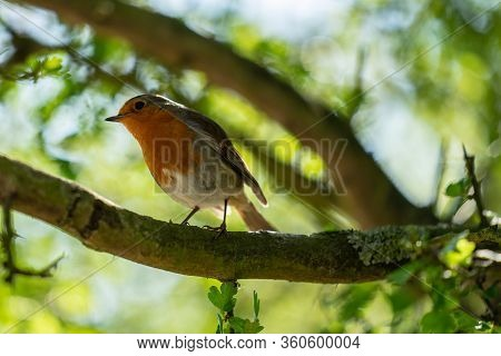 The European Robin, Erithacus Rubecula, Known Simply As The Robin Or Robin Redbreast In The British