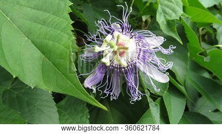 A Passiflora, Also Known As A Passion Flower Or Passion Vine, Grows Wild In Greenbelt, Md