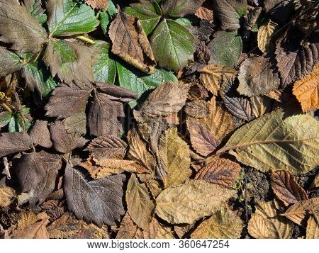 Old Yellowed Leaves. Dry Autumn Leaves On The Ground