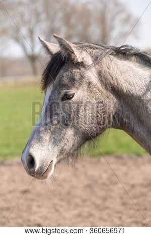Side Shot Of A Beautiful Young Warm-blood Horse. He Is Listening With His Ears Perked Up. Beautiful