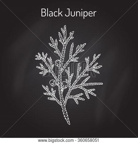 Black Juniper Juniperus Indica , Evergreen Medicinal Plant. Hand Drawn Botanical Vector Illustration