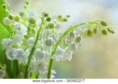 Flowers Smell Lily Of The Valley Or May-lily With Drops