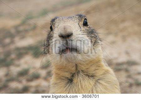 Head Shot Of Prairie Dog