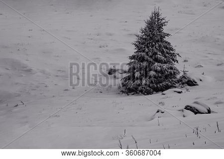 Black And White Picture Of A Solitary Fir Tree In The Snow