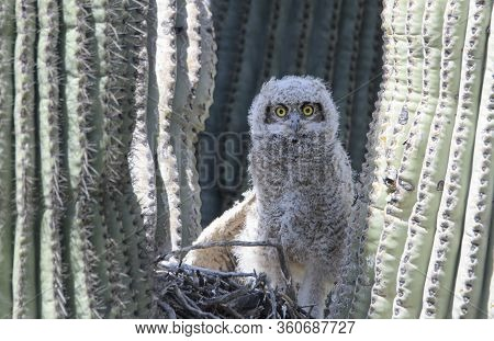 Great Horned Owlet In A Nest In A Saguaro Cactus In The Az Desert