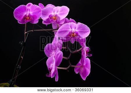 Purple Orchid 54