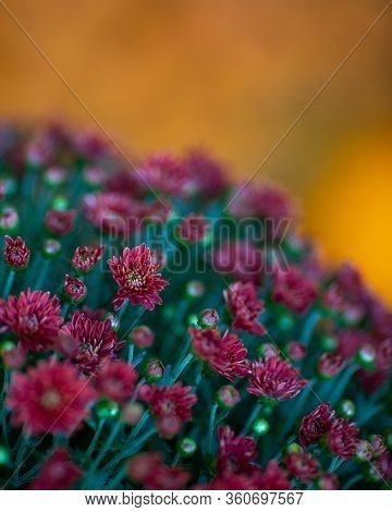 Horticulture Autumn Flowers. Red Flowering Mums Also Known As  Chrysanthemum