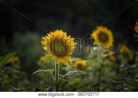 The Field Of Sunflowers In Millis, Massachusetts