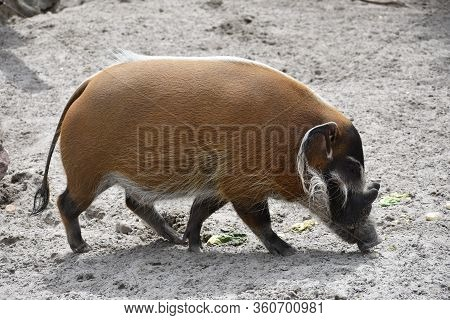 Swine Sniffing The Ground With Tusks In Zoo