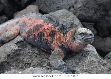 Male Marine Iguana Santa Cruz  Galapagos