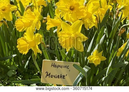 Narcissus Of The Marieke Species On A Flowerbed. Translation Of The Word On Nameplate: