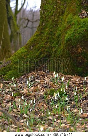 Snowdrop Or Galanthus Flowers On The Bottom Of Moss Covered Tree. Early Spring Forest Nature. Deep B
