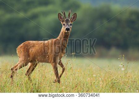 Interested Roe Deer Walking On A Meadow With Wildflowers In Fresh Summer