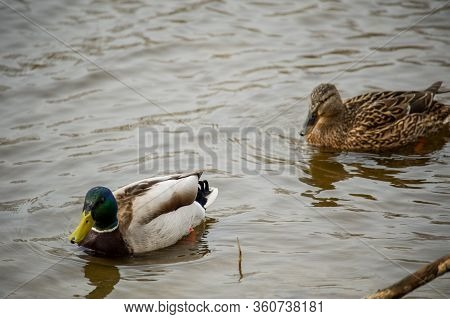 Mallard Duck On The Lake. Ducks In The River. Ducks Swim Along The River. Mallard, Wild Duck, Anas P