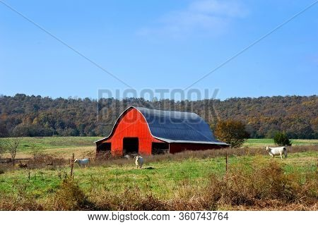 Charolais Cows Stand In Pasture In Front Of A Red Tin Barn.  Country Farm Begins To See A Touch Of F