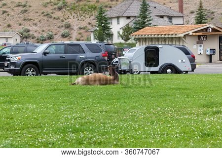 Yellowstone National Park, Usa - July 14 2014:  A Pregnant Cow Elk Laying In The Grass And Taking A