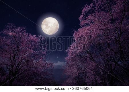 Romantic Night Scene - Beautiful Cherry Blossom (sakura Flowers) In Night Skies With Full Moon. Fant