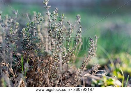 A Low-growing Aromatic Shrub Or Semi-shrub Of Thyme Or Thyme. Beautiful Photo Of Small Leaves At Sun