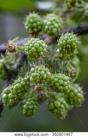 Unripe Blackberry Fruits Aggregated, Not Harvested, With A Blurred Branch In The Background.