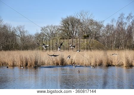 Flying Greylag Geese In A Small Pond On The Swedish Island Oland