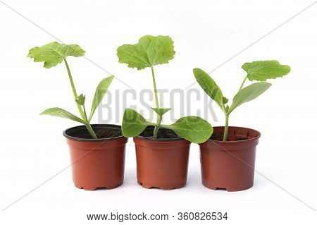 Zucchini Seedlings Isolated On White Background, Young Zucchini Growing In Pot  Before Planting In T