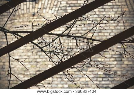 Leafless Branches On Brick Wall Background Behind Wooden Planks